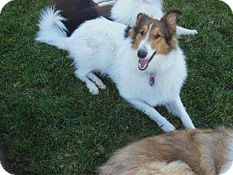 Collie Dog for adoption in Trabuco Canyon, California - Penny