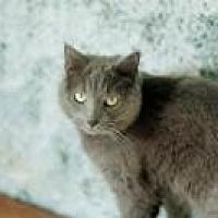 Domestic Shorthair Cat for adoption in Flintstone, Maryland - hannah