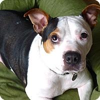 Adopt A Pet :: Batman - Reisterstown, MD