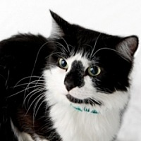 Domestic Shorthair Cat for adoption in St. Charles, Illinois - Daisy