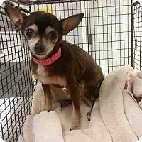 Chihuahua Dog for adoption in Studio City, California - Chaya