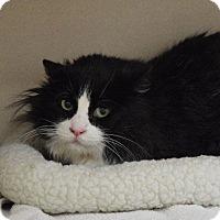 Domestic Longhair Cat for adoption in Denver, Colorado - Senor Gato