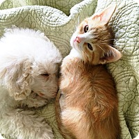 Adopt A Pet :: Henry - Arlington/Ft Worth, TX