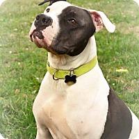 Adopt A Pet :: Moo Moo Face - Eastpointe, MI