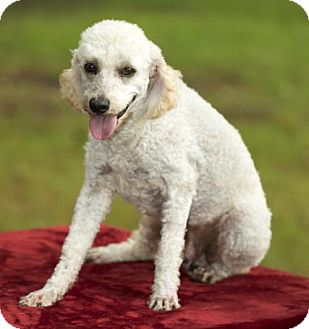 Poodle (Miniature) Dog for adoption in Santa Fe, Texas - Winston-handsome little man---S