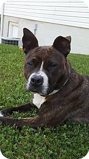 American Pit Bull Terrier Mix Dog for adoption in Elderton, Pennsylvania - Tazzy