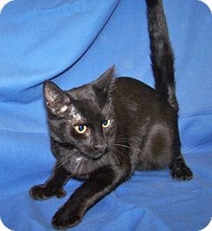 Hemingway/Polydactyl Kitten for adoption in Colorado Springs, Colorado - Kory
