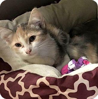 Domestic Shorthair Kitten for adoption in Flint, Michigan - Josie