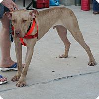 Adopt A Pet :: Caesar - Umatilla, FL