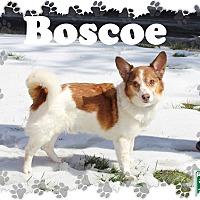 Adopt A Pet :: Boscoe - Fallston, MD