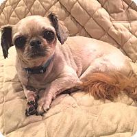 Adopt A Pet :: Little Man - Atlanta, GA