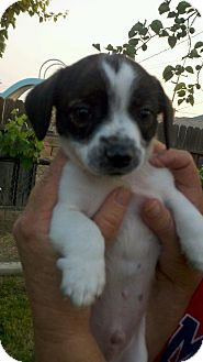 Rat Terrier/Lhasa Apso Mix Puppy for adoption in Bakersfield, California - Mickey