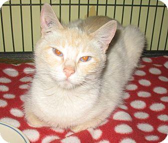 Siamese Kitten for adoption in Shelton, Washington - Francesca