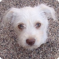 Adopt A Pet :: Maya - La Habra Heights, CA