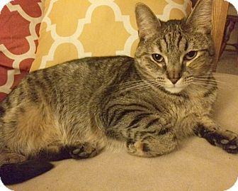 Domestic Shorthair Cat for adoption in Rochester, New York - Katniss