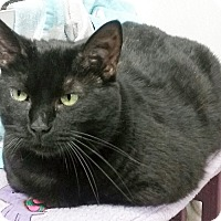 Domestic Shorthair Cat for adoption in Pottsville, Pennsylvania - Sabrina