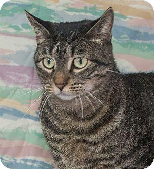 Domestic Shorthair Cat for adoption in Elmwood Park, New Jersey - Bindi