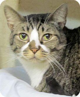 Domestic Shorthair Cat for adoption in Seminole, Florida - Squeak