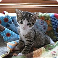 Adopt A Pet :: Tippy Toes - Sterling Hgts, MI