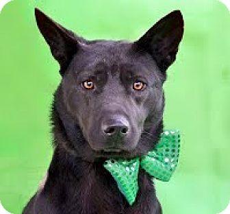 Labrador Retriever/German Shepherd Dog Mix Dog for adoption in Darlington, South Carolina - Captain