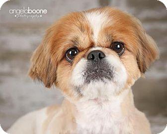 Pekingese Dog for adoption in Inver Grove, Minnesota - Theodore(PENDING)