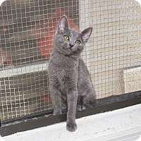 Russian Blue Cat for adoption in Chicago, Illinois - Rocky