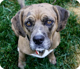 Beagle/Catahoula Leopard Dog Mix Dog for adoption in Los Angeles, California - Wesley