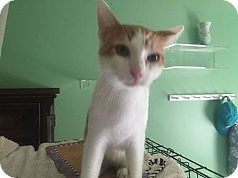 Domestic Shorthair Cat for adoption in Baltimore, Maryland - Donny