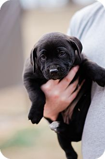 Labrador Retriever/Hound (Unknown Type) Mix Puppy for adoption in Seneca, South Carolina - Mulan $250
