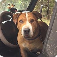 American Bulldog/Shar Pei Mix Dog for adoption in Colorado Springs, Colorado - Mac