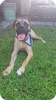 English Mastiff Puppy for adoption in Norwood, Georgia - Lady