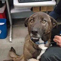Australian Shepherd/Labrador Retriever Mix Dog for adoption in Fairfield, California - RILEY