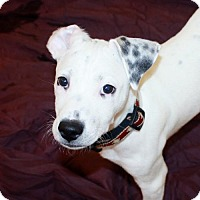 Adopt A Pet :: Pecas (Manhattan) - New York, NY