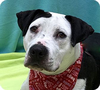 American Staffordshire Terrier Mix Dog for adoption in Evansville, Indiana - Gertie