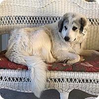 Adopt A Pet :: Anna Banana - Kyle, TX