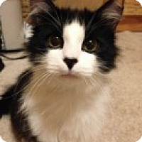 Adopt A Pet :: Cream - McHenry, IL