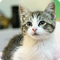 Adopt A Pet :: Tiger Lily - Montclair, CA