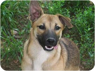 Sheltie, Shetland Sheepdog Mix Puppy for adoption in Harrisburgh, Pennsylvania - Princess
