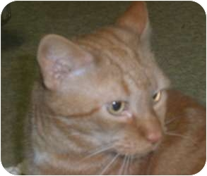Domestic Shorthair Cat for adoption in Stafford, Virginia - Ralph