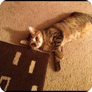 Domestic Shorthair Cat for adoption in Winder, Georgia - *Cat1