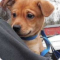 Adopt A Pet :: Little Lana - Brattleboro, VT
