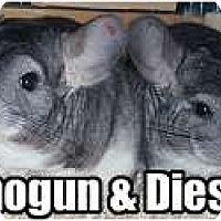 Adopt A Pet :: Shogun - Virginia Beach, VA