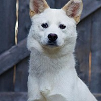 Jindo Dog for adoption in Spring Lake, New Jersey - Pine