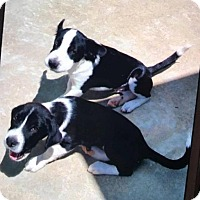 Adopt A Pet :: Johnny Ringo - Rexford, NY
