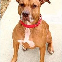 American Pit Bull Terrier/Labrador Retriever Mix Dog for adoption in Sherman Oaks, California - Goldie