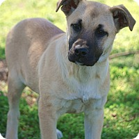 Black Mouth Cur/Great Dane Mix Puppy for adoption in Westport, Connecticut - *Corey - PENDING