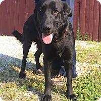 Adopt A Pet :: Blackie - Albany, NY