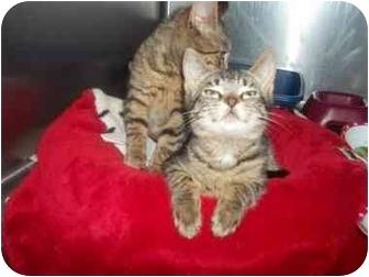 Domestic Shorthair Kitten for adoption in Little Neck, New York - siblings