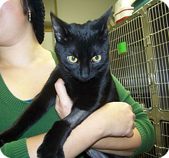 Domestic Shorthair Cat for adoption in Dover, Ohio - Emmy