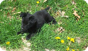 Border Collie/Retriever (Unknown Type) Mix Puppy for adoption in CHAMPAIGN, Illinois - FRED